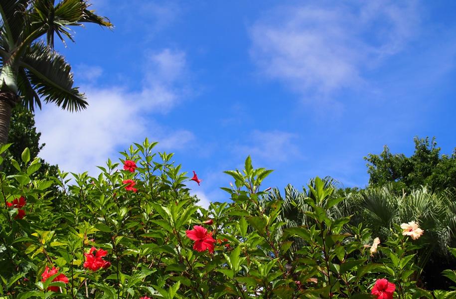 青空です!中庭のハイビスカスたちも嬉しそう!