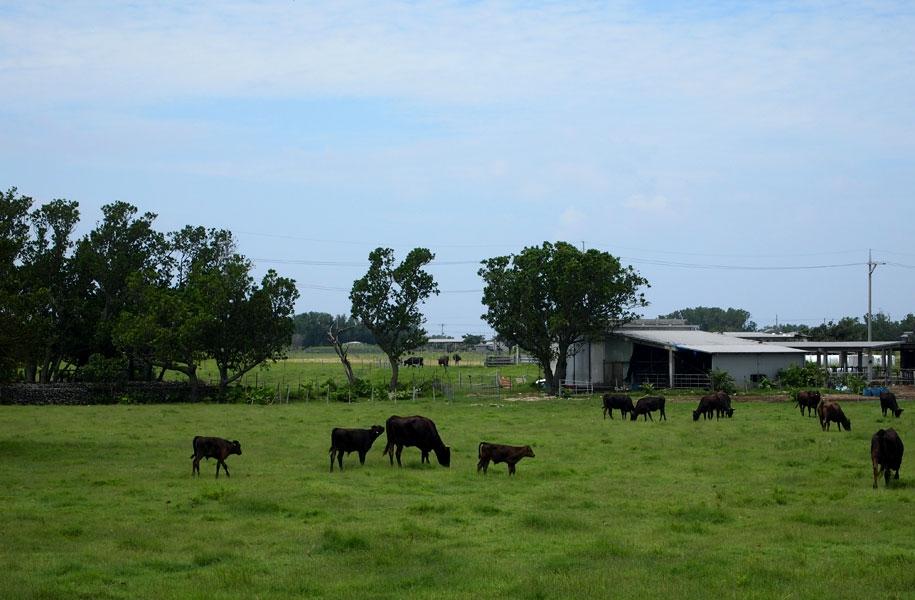 黒島は人より牛の方が多い!?