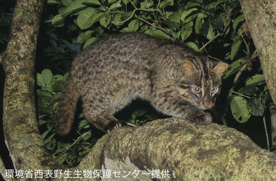 西表島にだけ生息する国の天然記念物「イリオモテヤマネコ」絶滅危惧種