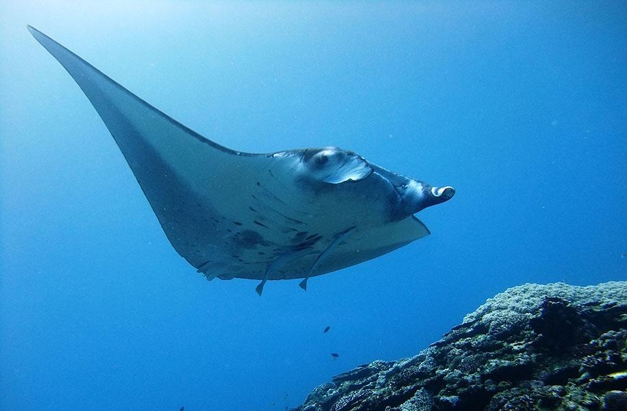 「体験ダイビングでマンタに会った!」なんて世界中のダイバーにとってAmazing!